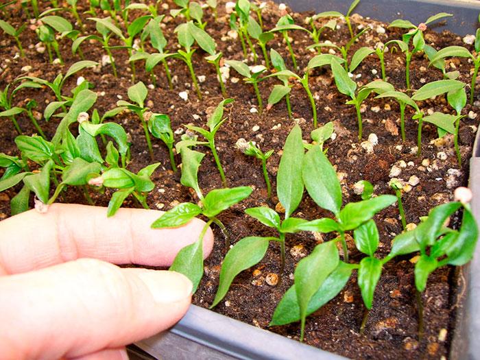 Через сколько дней взойдут семена перца